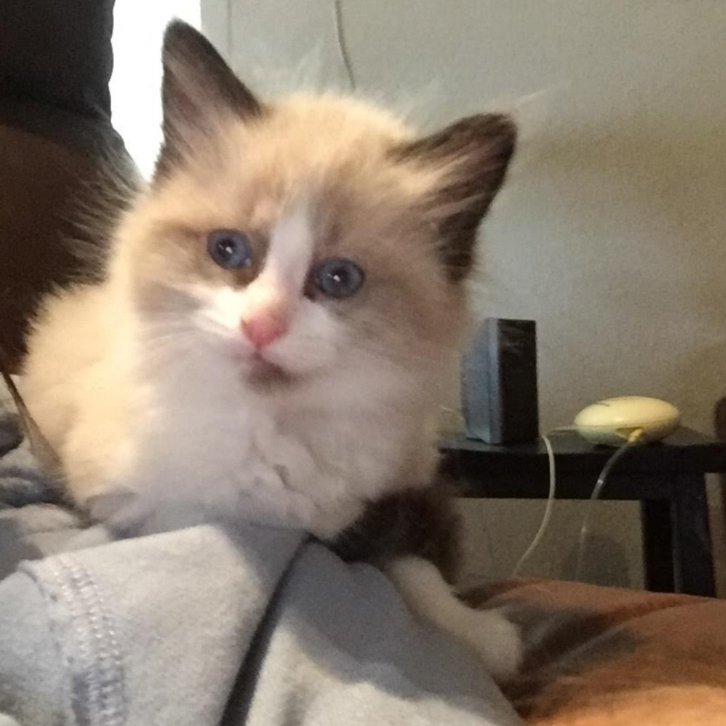 Id Ragdoll Or Snowshoe Currently One And A Half Years Old I Bought