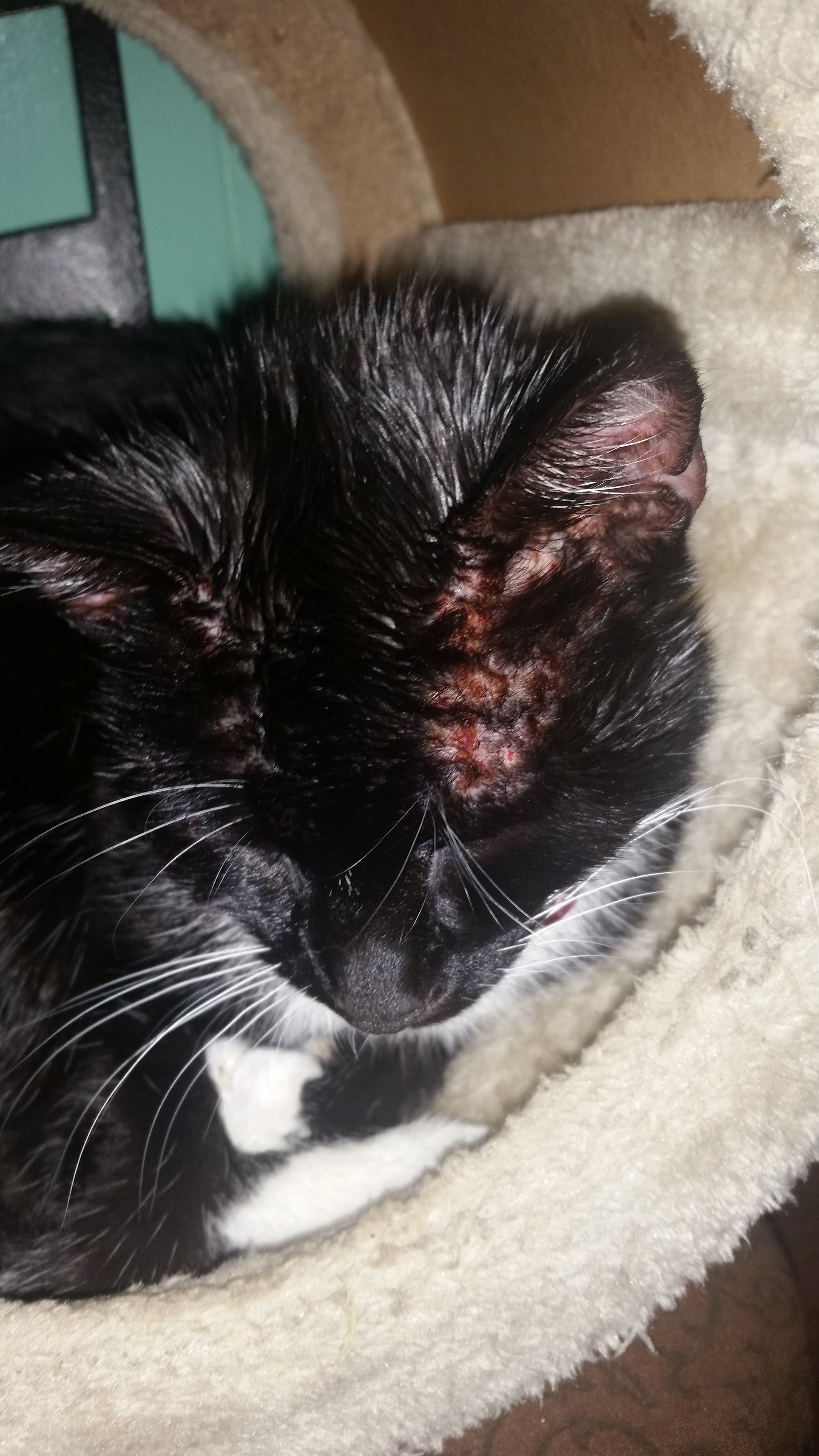 Ear Mites And Face Rash | TheCatSite Ear Mites In Cats