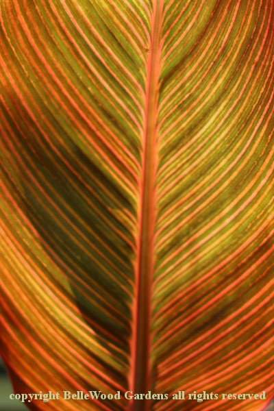 BelleWood in Bloom_2020-07_Canna Tropicana-backlit leaf.jpg