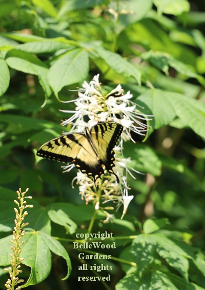 BelleWood in Bloom_2020-07_tiger swallowtail on Aesculus parviflora.jpg