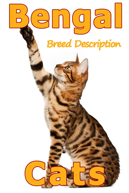 Bengal Cats - Concise and complete breed description