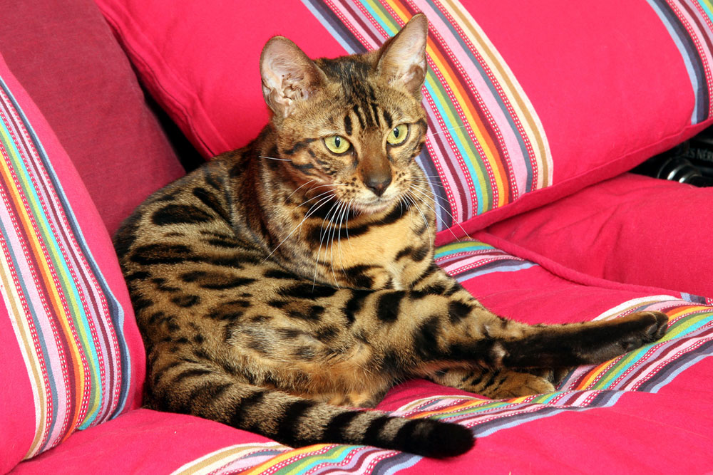 Bengal Cat on a sofar showing unique coat pattern of rosettes