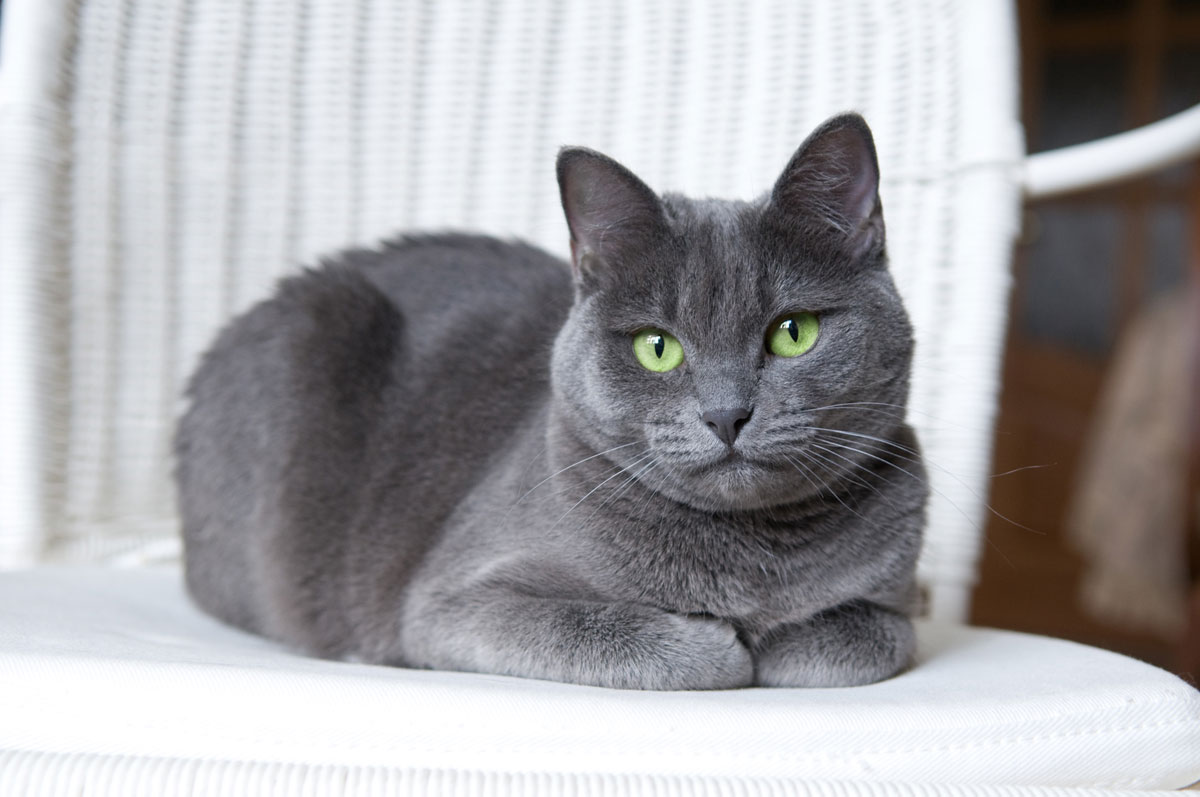 Cat Coat Colors And Patterns Thecatsite Articles