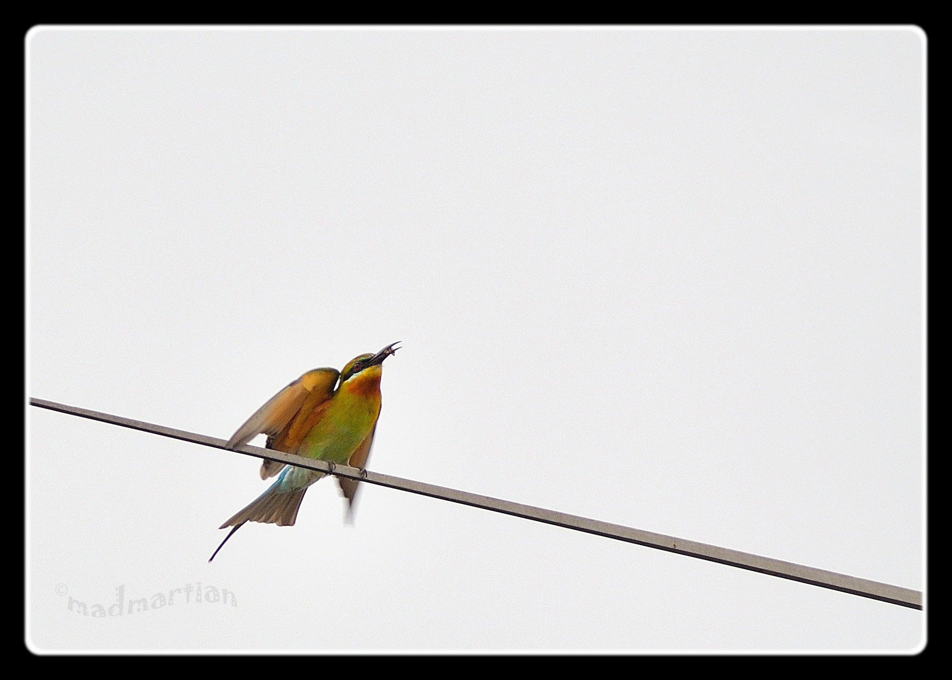 - Blue-tailed Bee Eater 20111108_0006.JPG