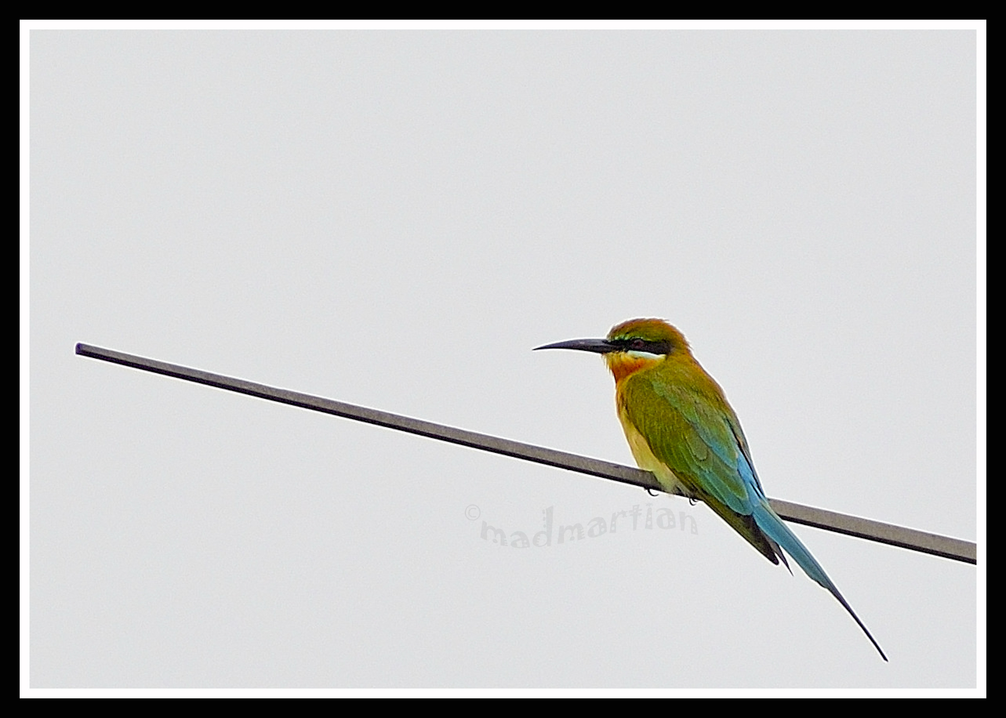 - Blue-tailed Bee Eater 20111108_0014.JPG
