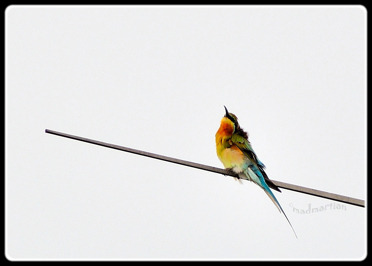 Blue-tailed Bee Eater 20111108_0019.JPG