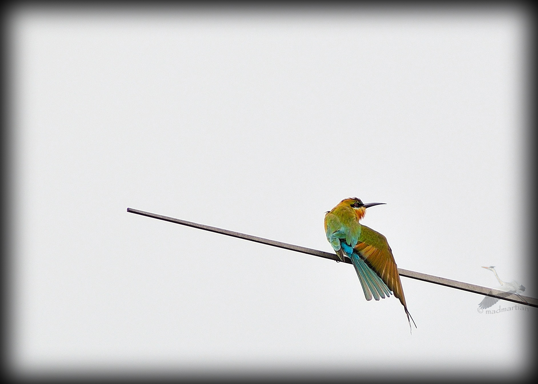 - Blue-tailed Bee Eater 20111108_0024.jpg