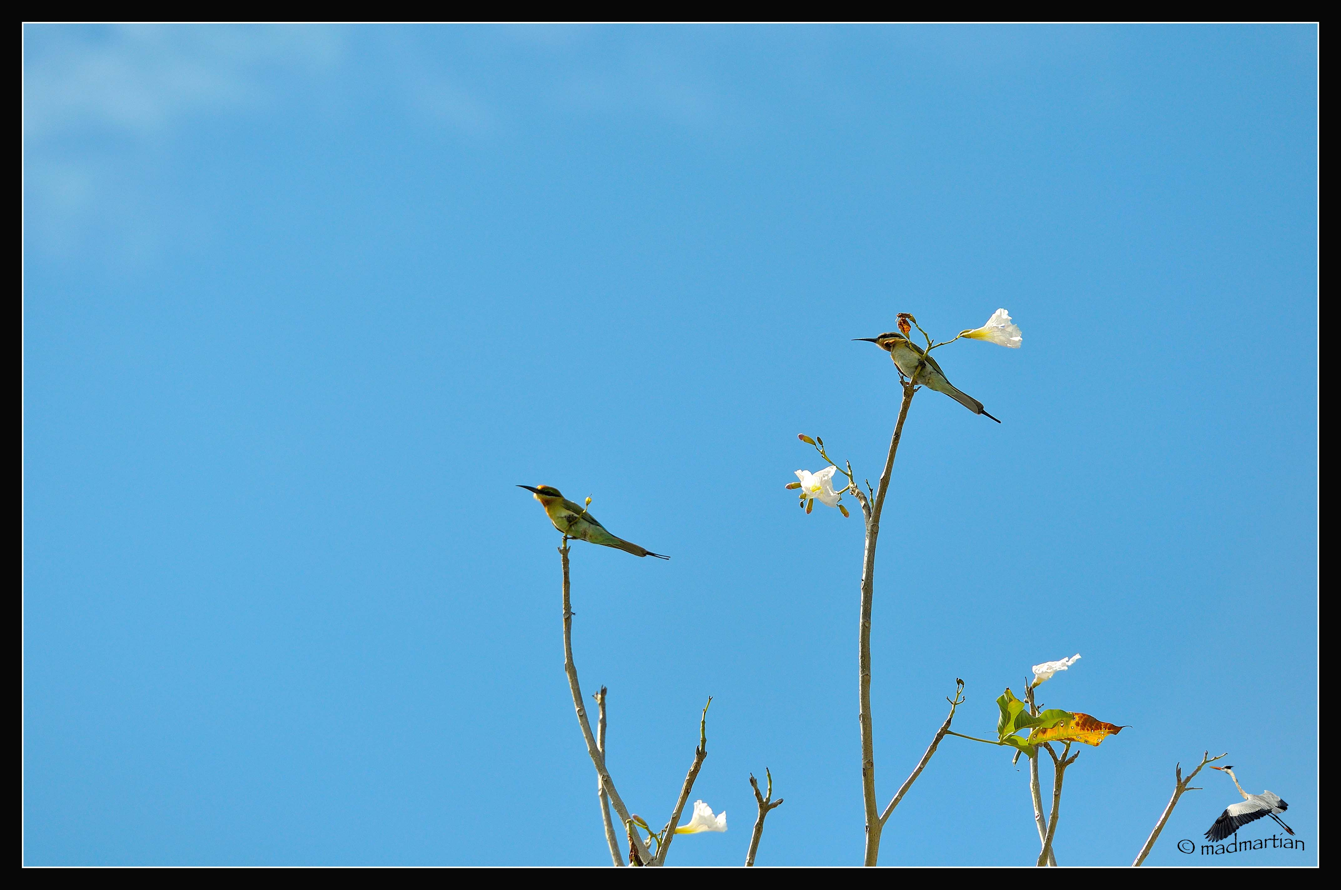 - Blue-tailed Bee Eater 20121120_0002.JPG