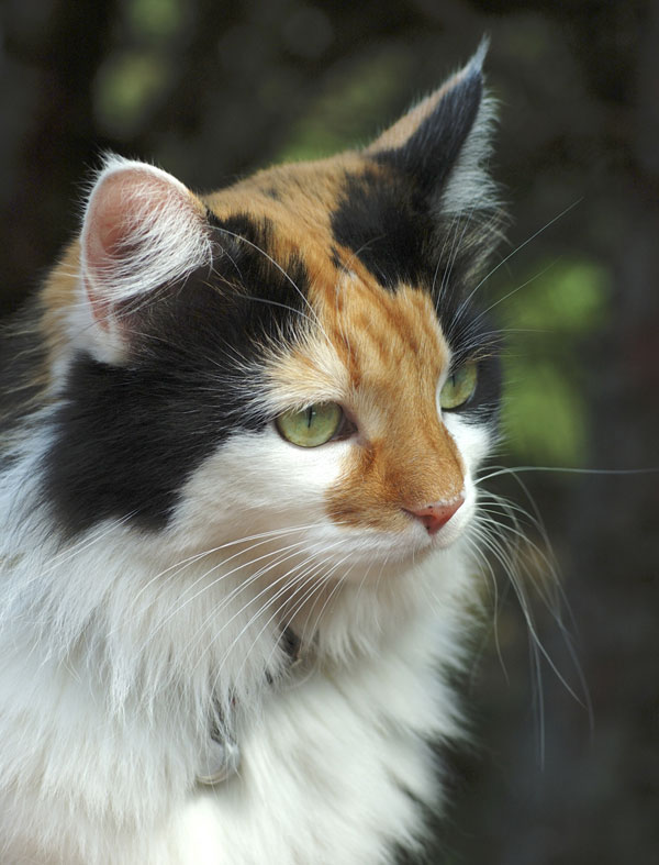 Calico with tabby M on face