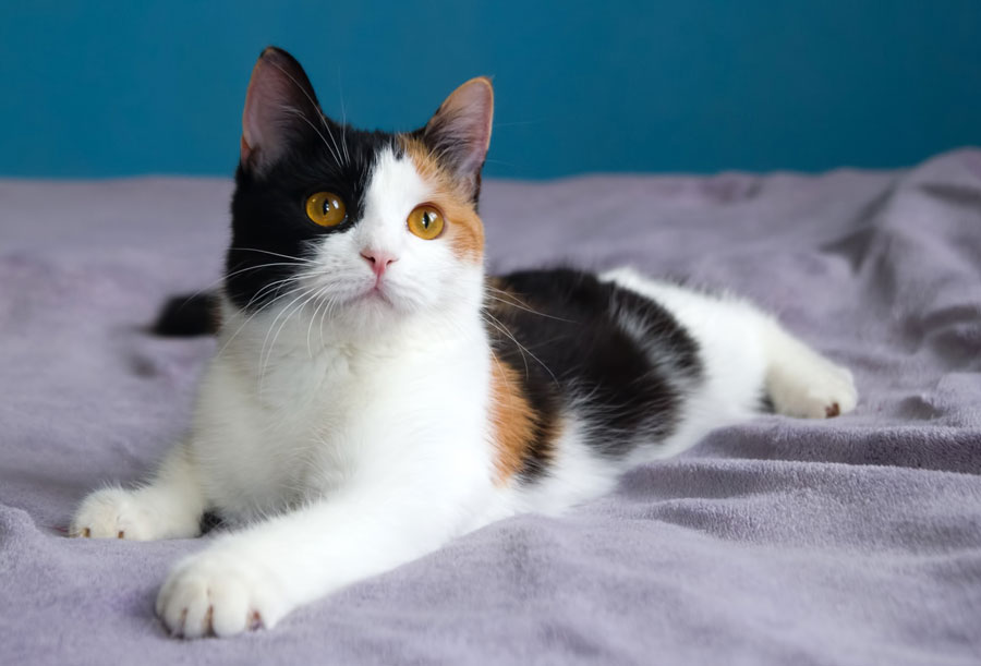 A calico cat has three colors in her coat