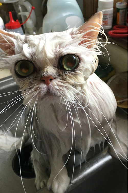 A wet Persian cat being prepared for a cat show