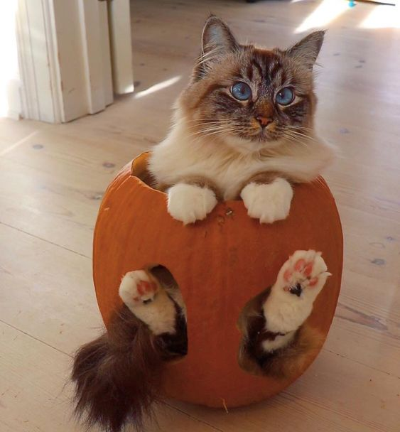 cat in a pumpkin.jpg