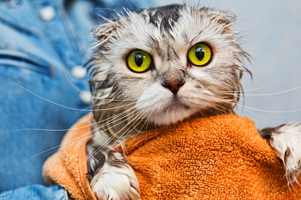 Cat being washed