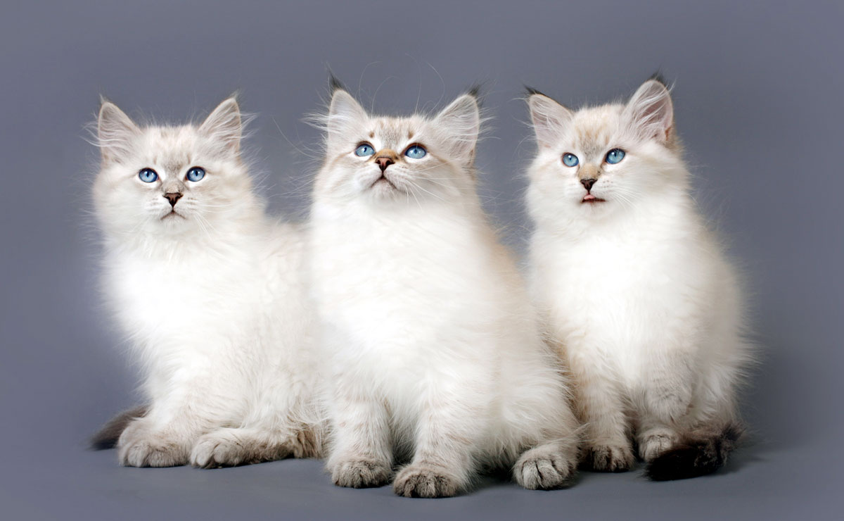Colorpoint kittens