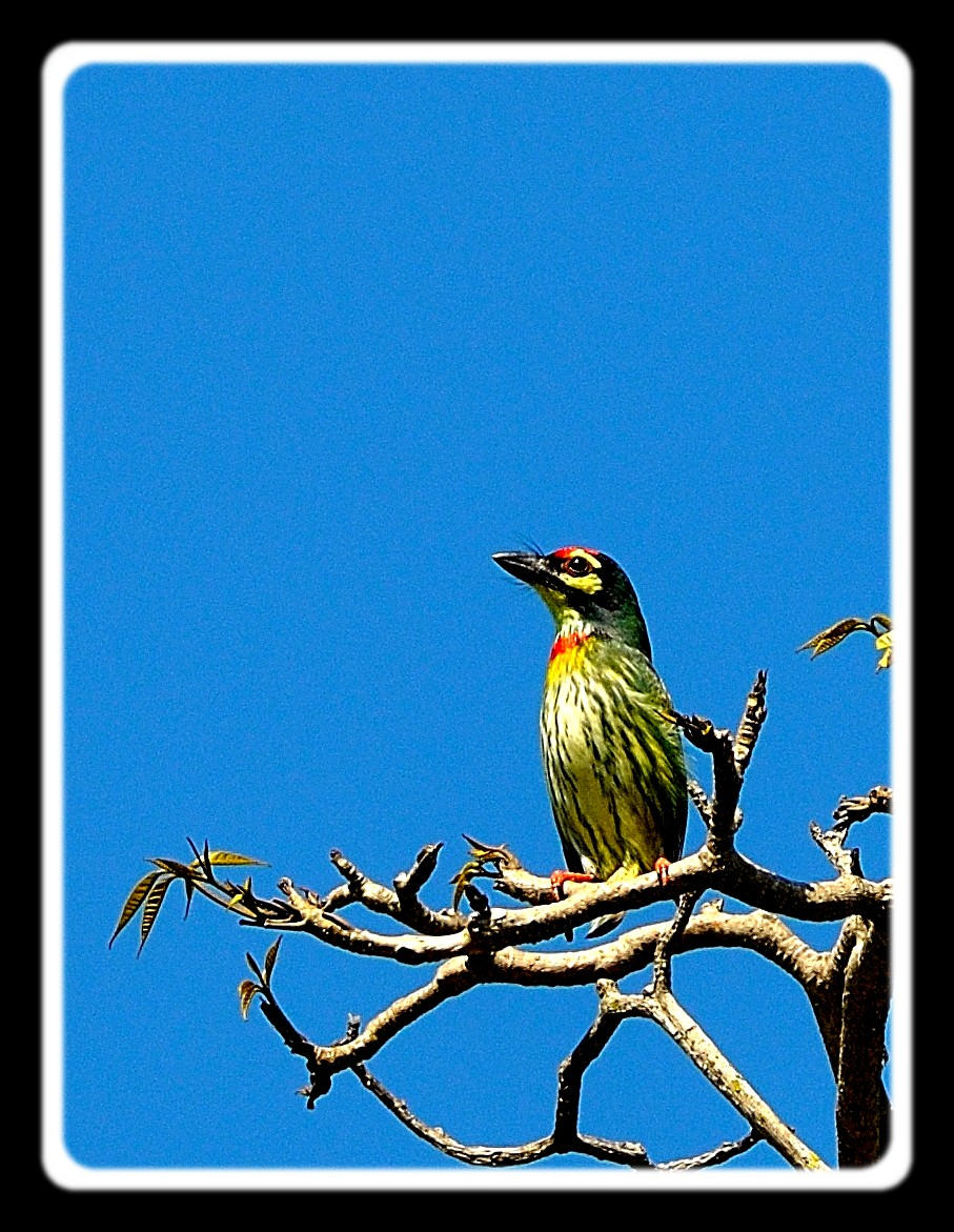 Coppersmith Barbet 20111117_0003.jpg