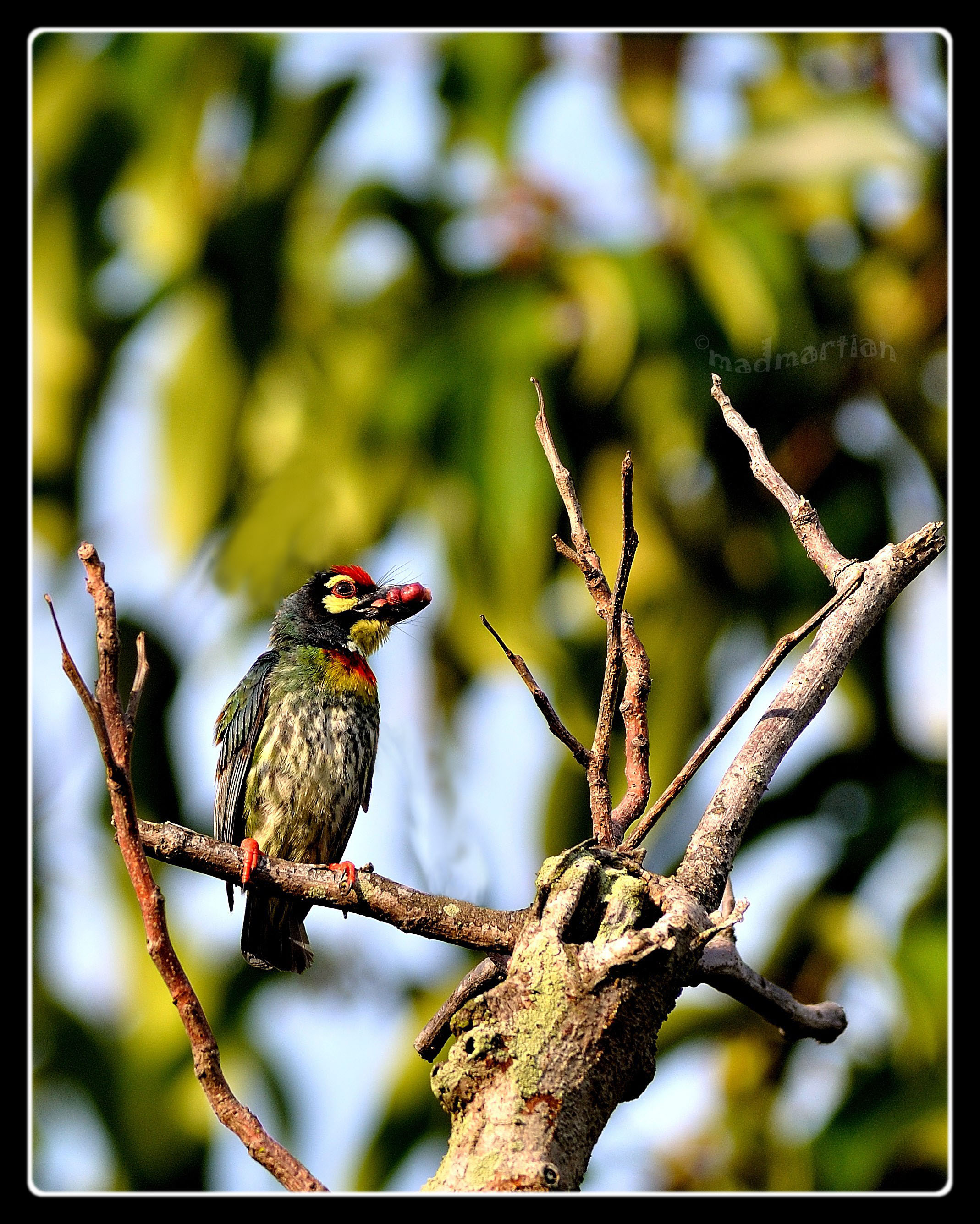 Coppersmith Barbet 20120403_0000.JPG