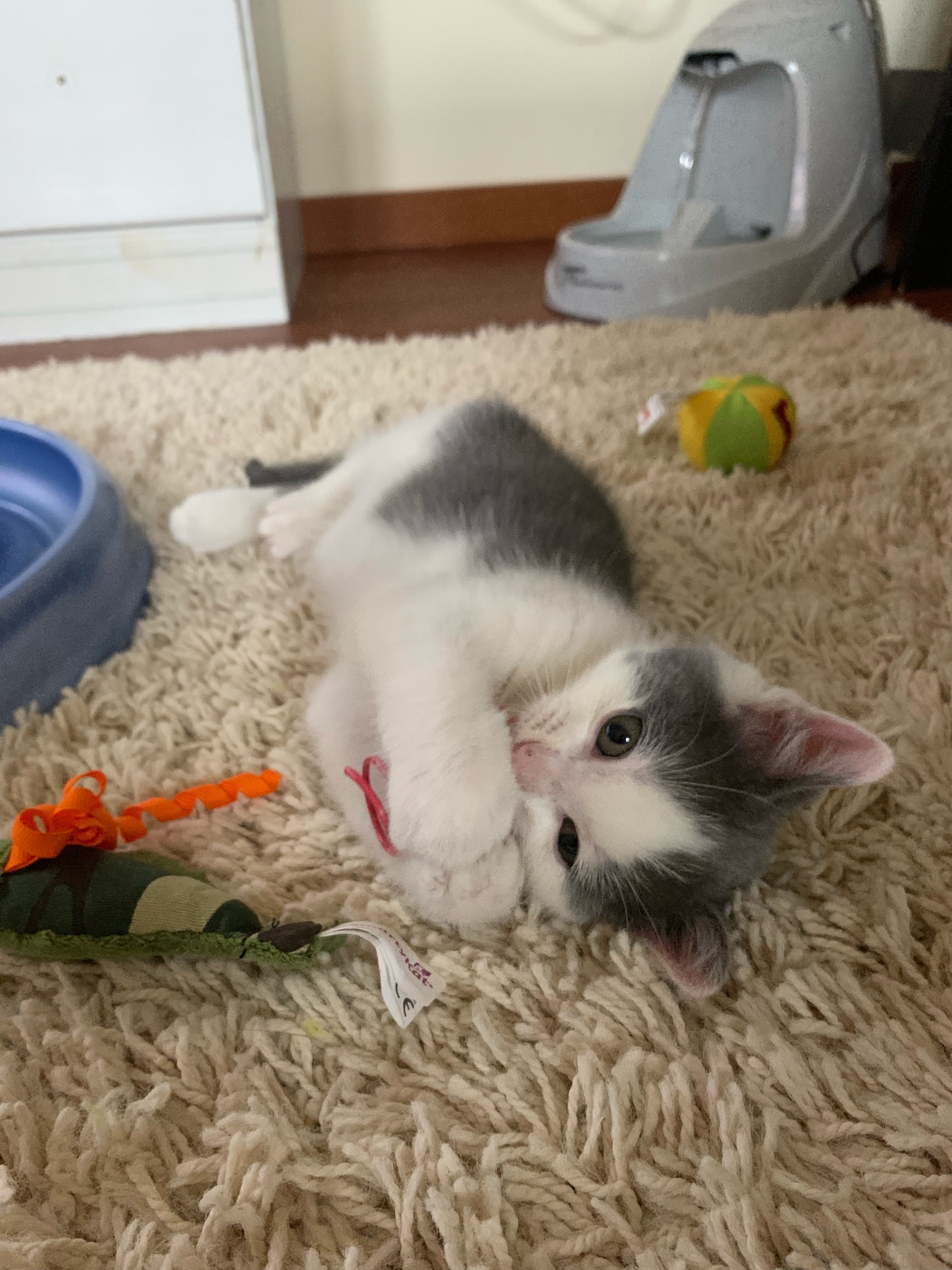 7 Month Old Kitten Doesn T Gain Weight Anymore Thecatsite