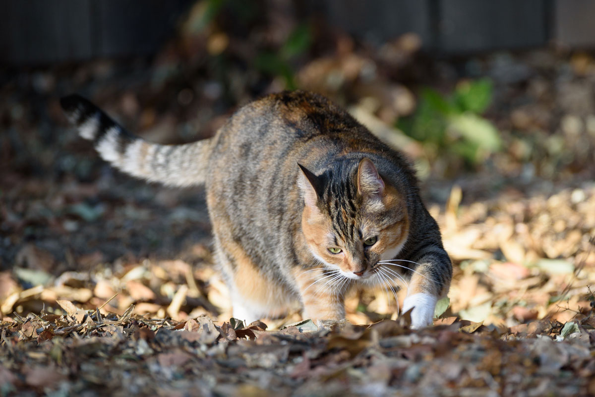 Calico cat digging outside - where there's plenty of room