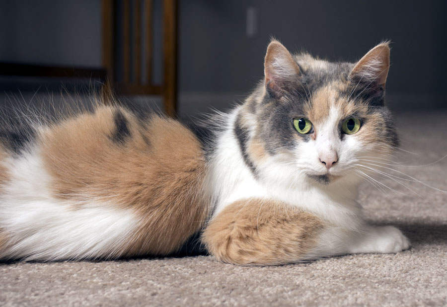 dilute-calico.jpg