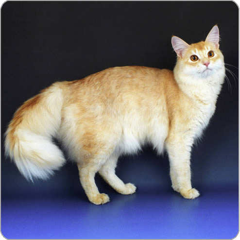 Fawn-Somali-Cat-Picture.jpg