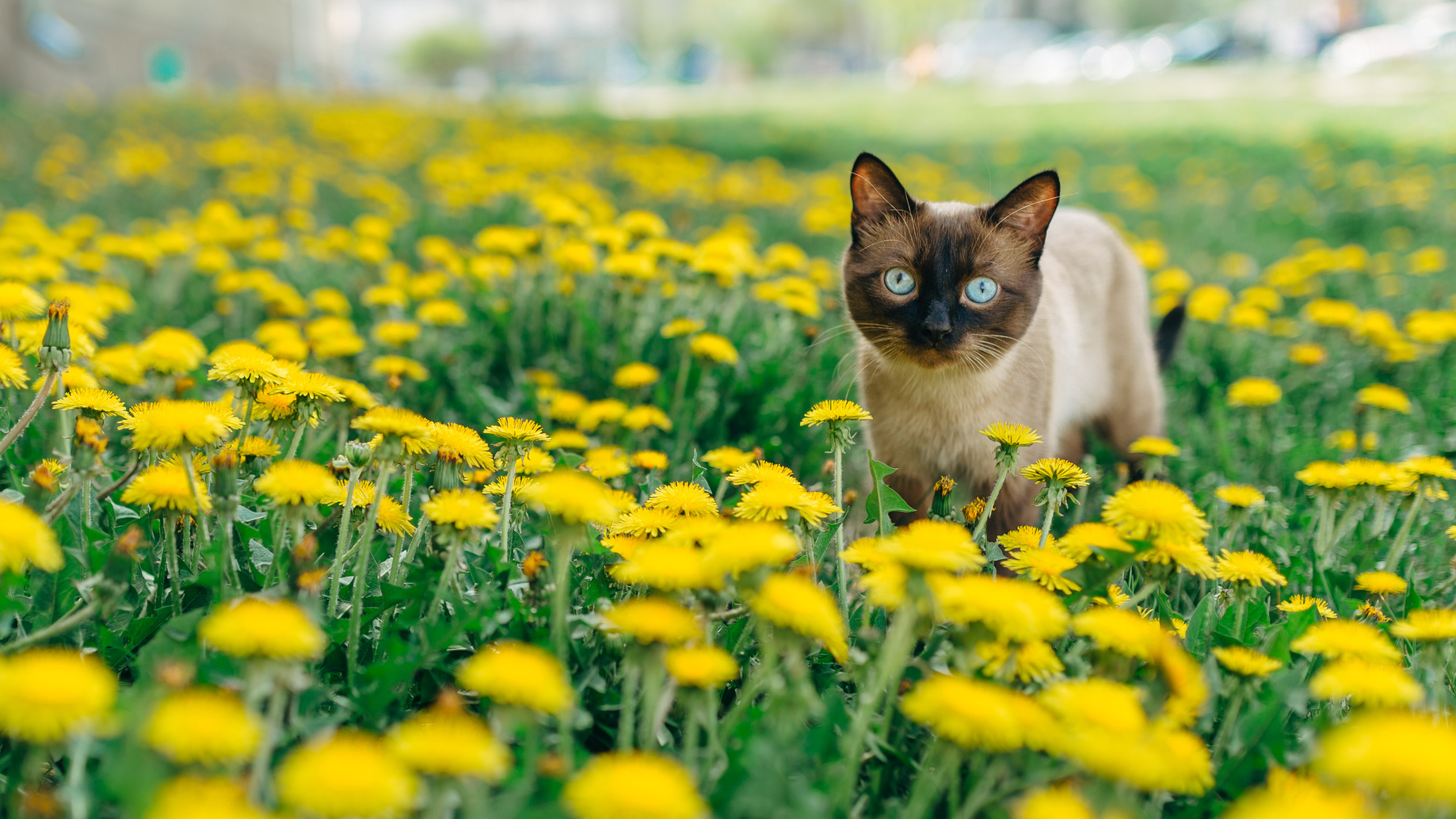 harness and leash training for cats the cat site why you should never let your cat hunt