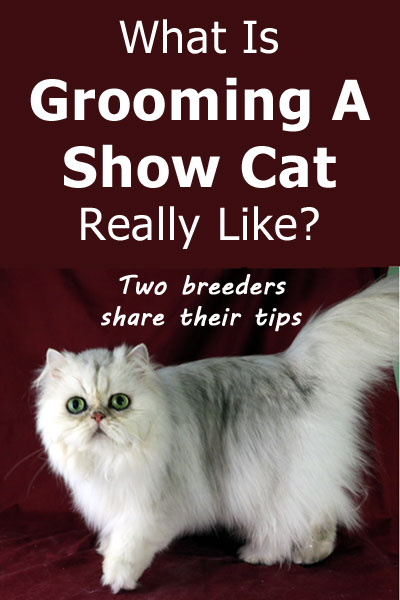 What is grooming a show cat like? Two experienced breeders share their tips