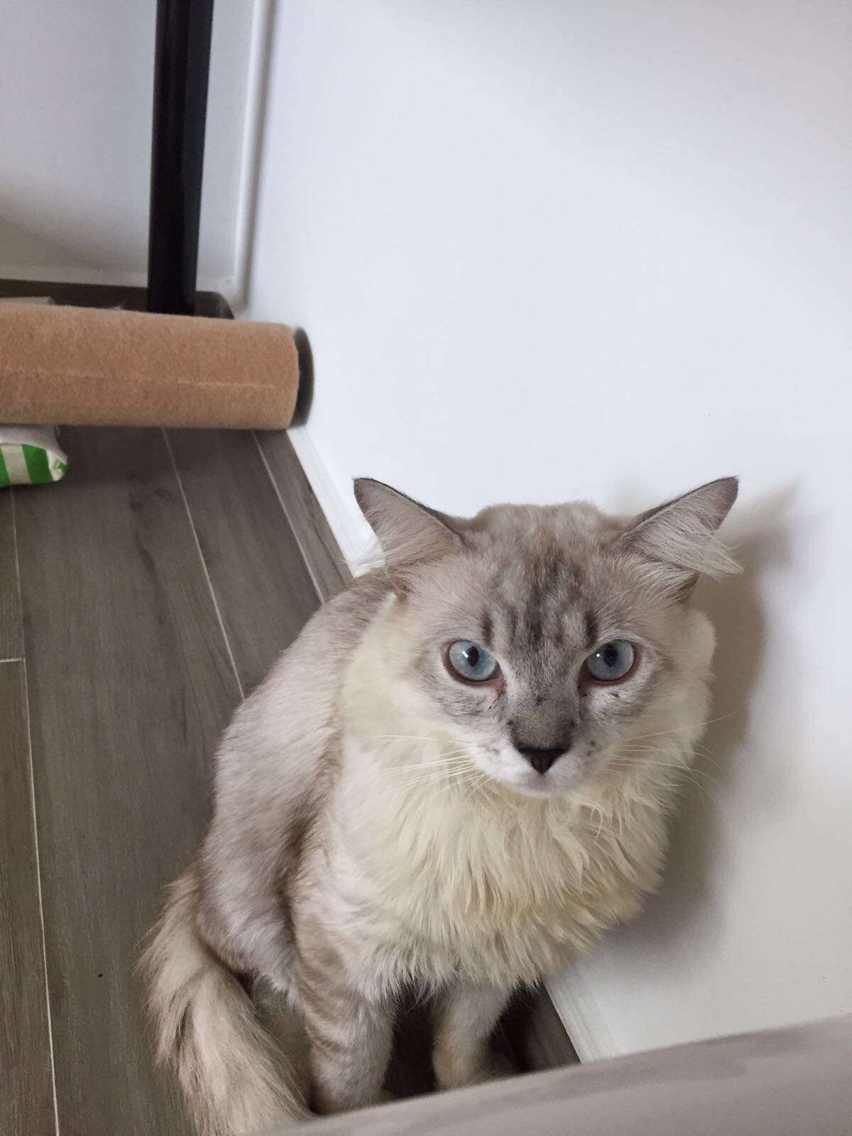 White Cream Fur Blue Eyes What Breed Is My Cat Thecatsite
