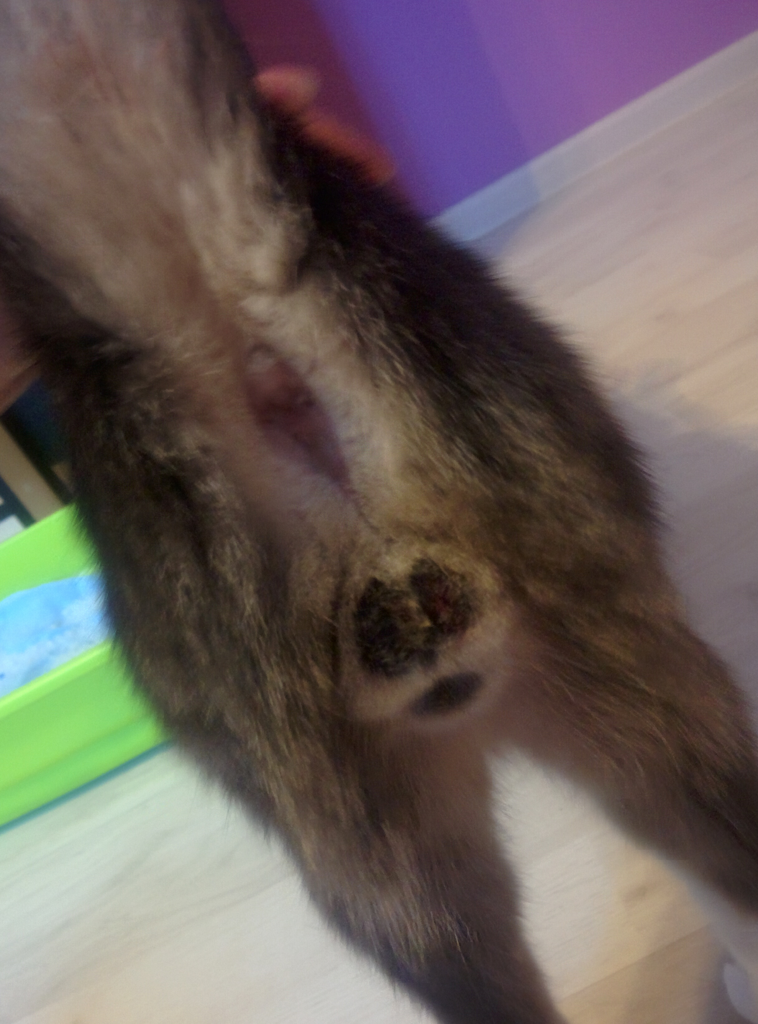 Male Cat Licking Scrotum After Neutering Thecatsite