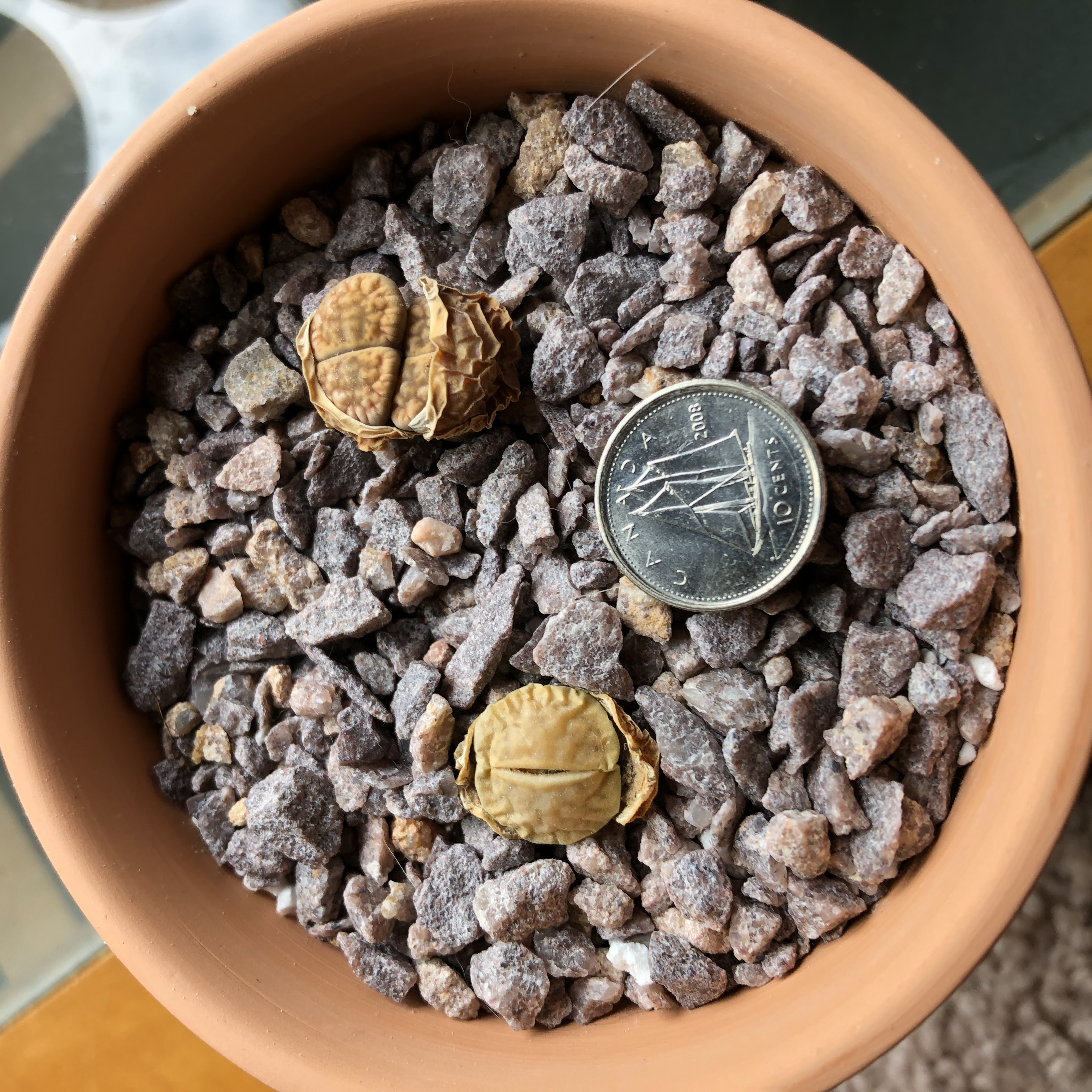 IMG_6960 Lithops Splitting.jpg
