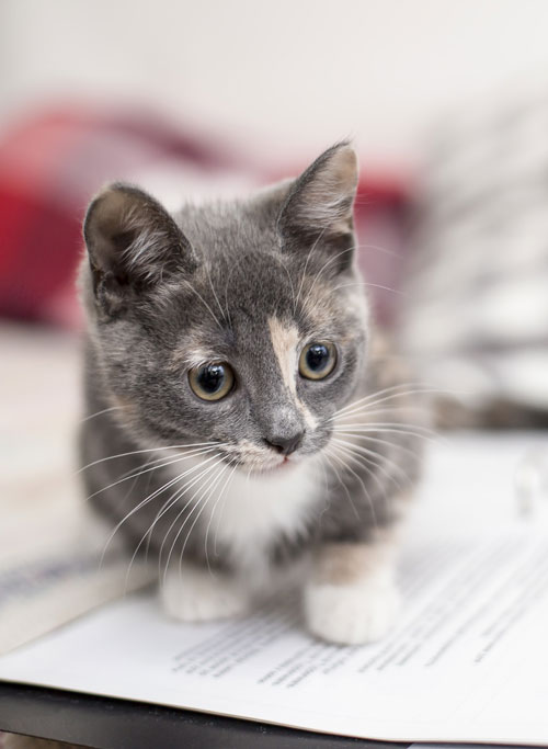 9 Tips that will help your kitten adapt to a new home: Let the kitten be and don't force him or her to do anything