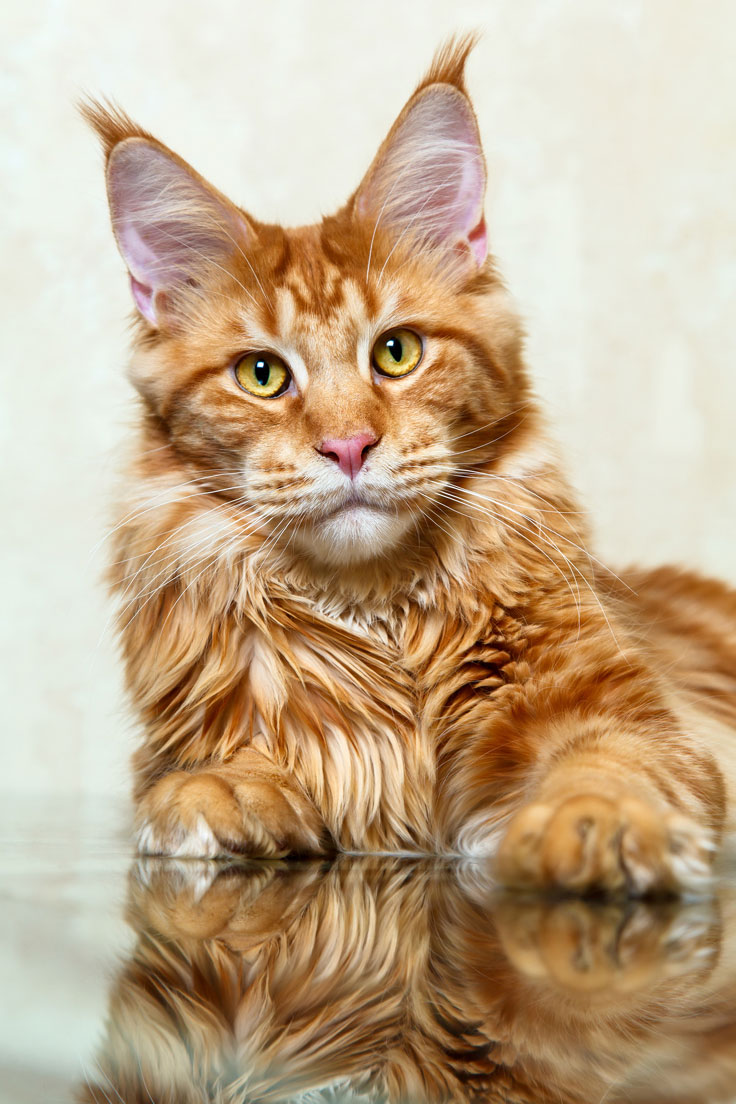 What Breed Is My Cat Thecatsite Articles