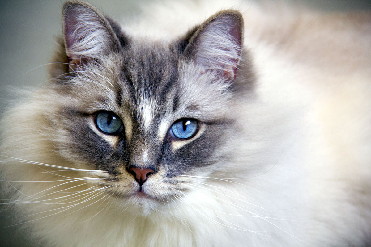 Ragdolls are also longhaired cats