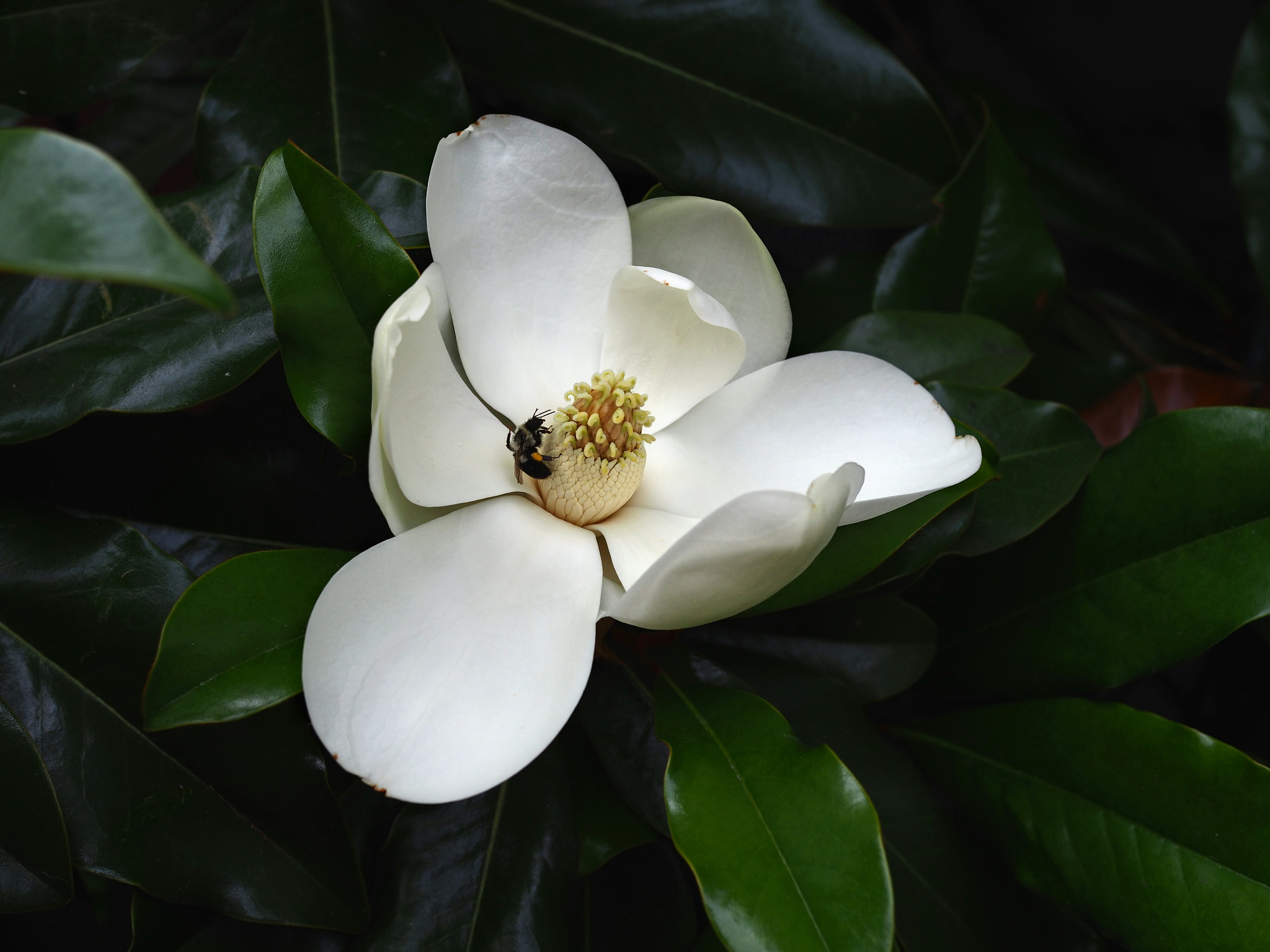 magnolia 2 for tcs.jpg