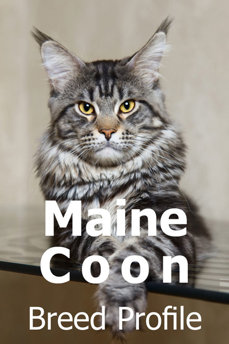 The Maine Coon Cat - Breed Profile