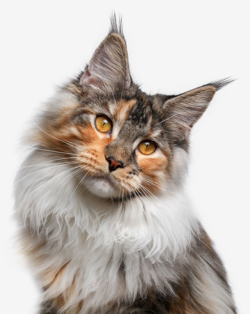 Or could your cat be a Maine Coon?