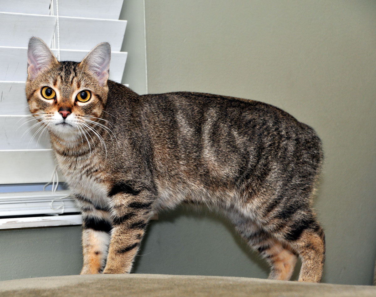 Female Manx Cat - Manx Cat Guide by TheCatSite.com