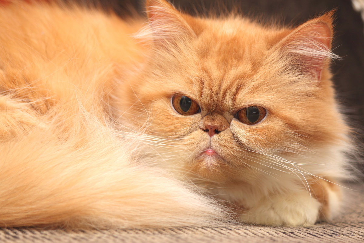 Could your cat be a Persian cat?