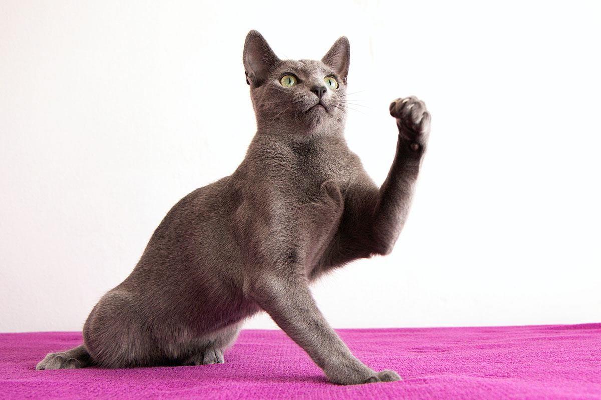 Is your kitty a Russian Blue lookalike?