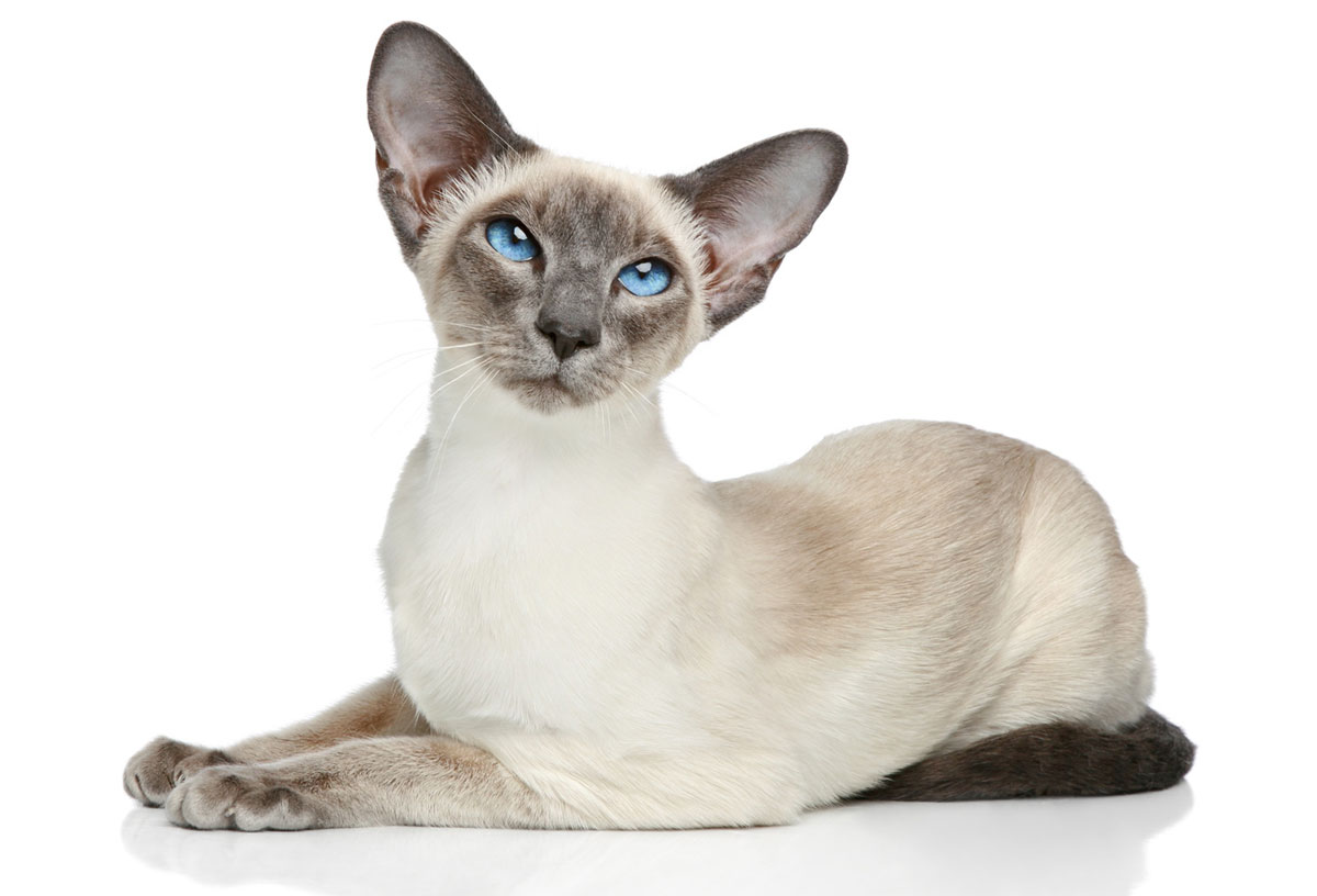 Could your cat be a Siamese cat?