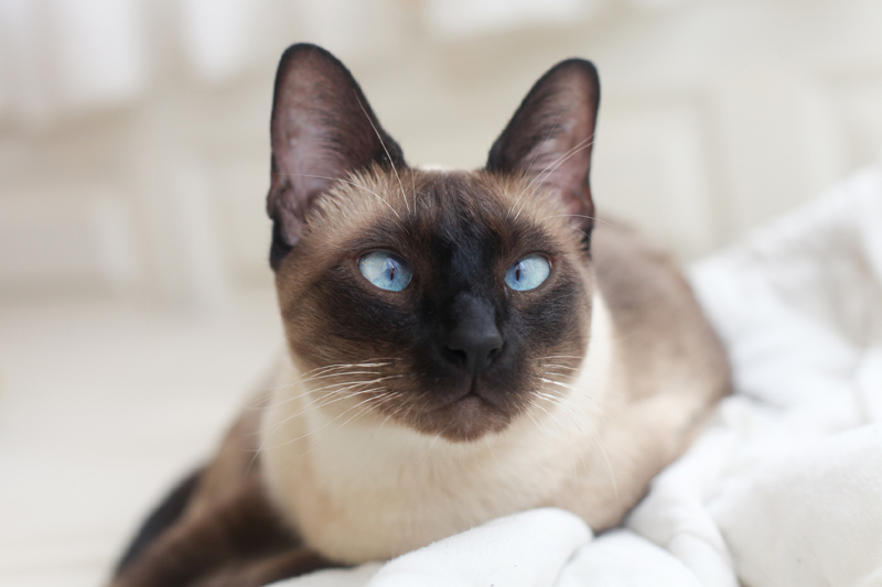 Could your cat be a Siamese? How To Tell Your Cat's Breed By Its Behavior
