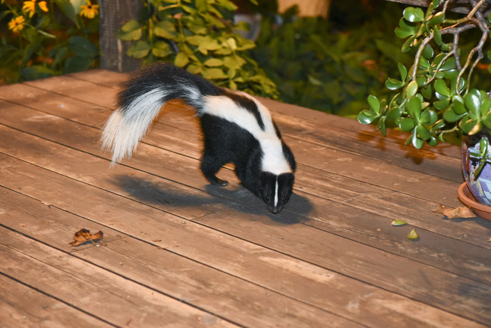Skunk on patio