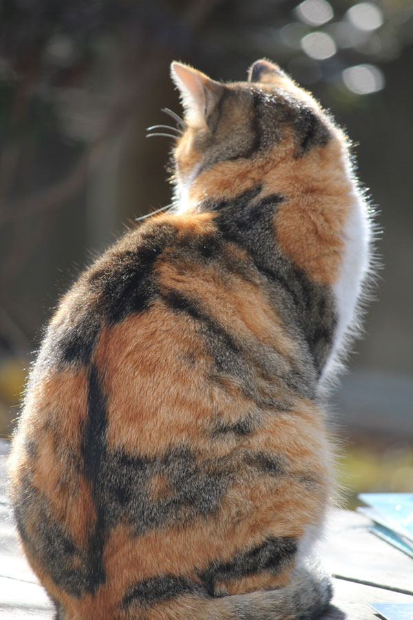 Tabby markings on calico cat's back