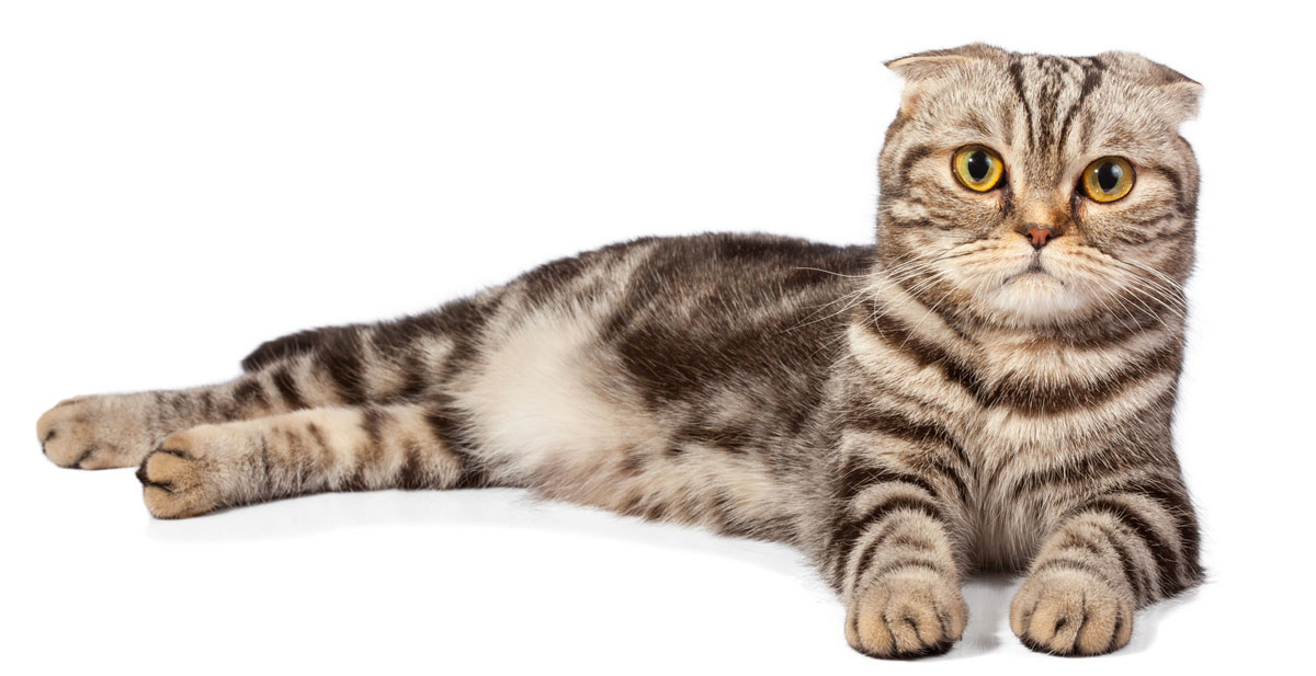 Tabby Scottish Fold Cat