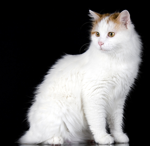 Turkish Van cats - 5 Fascinating Facts