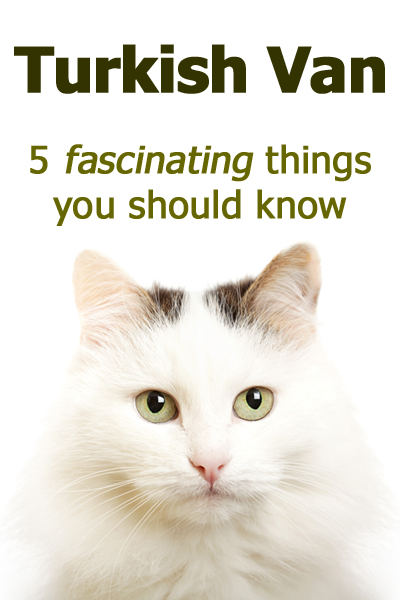 Turkish Van Cats: 5 Fascinating Things You Should Know