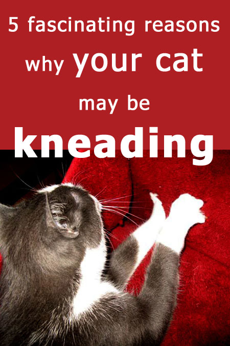 Why Do Cats Knead? 5 fascinating reasons why your cat may be kneading