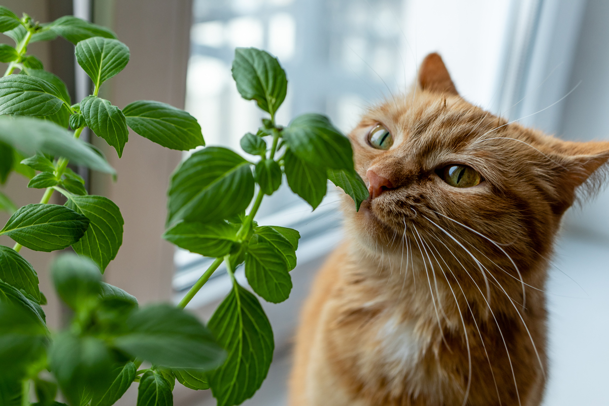 A cute ginger cat sniffing fresh home grown basil
