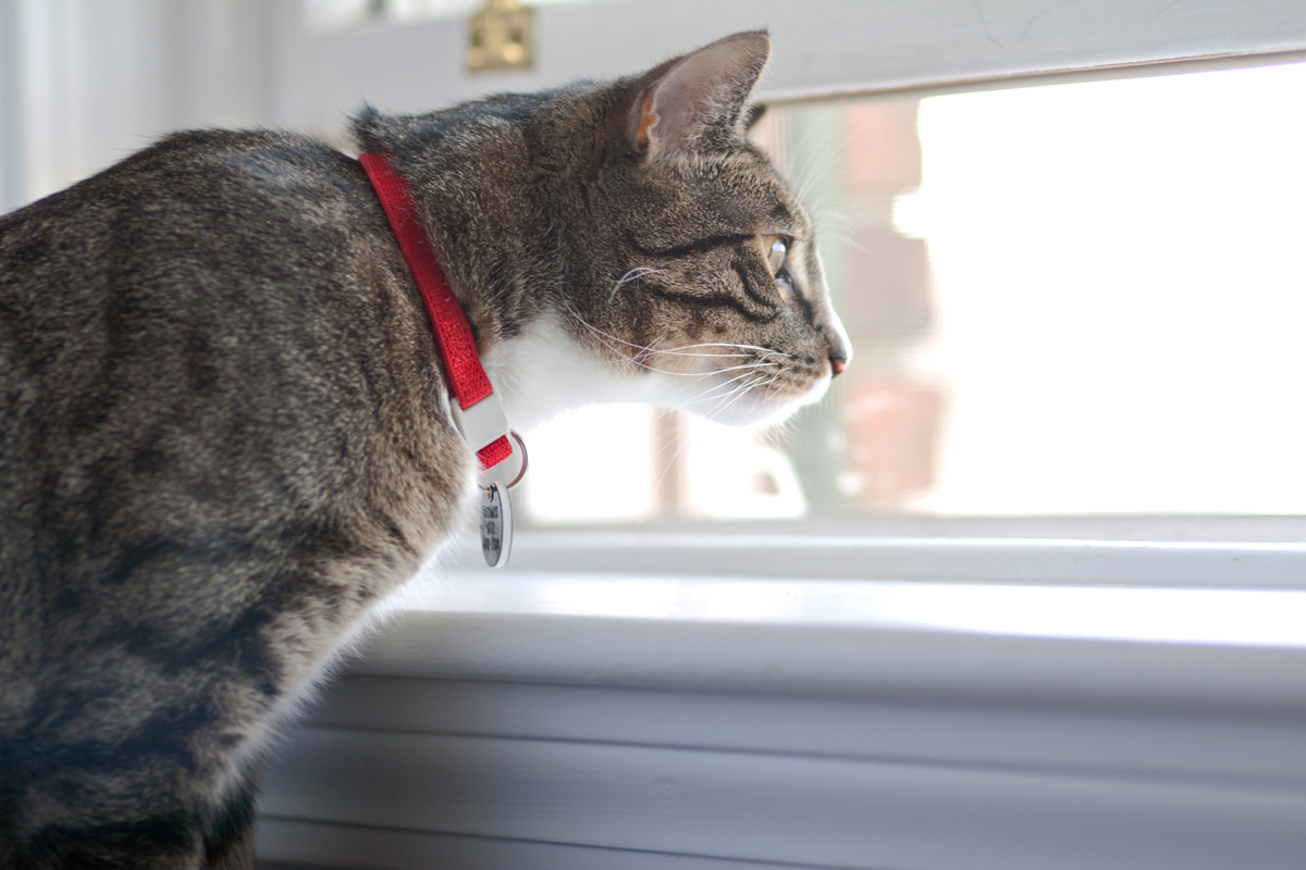 An indoor cat with a red collar staring outside the window