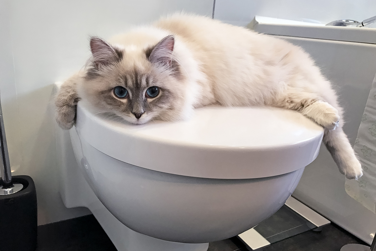 A cute white cat with huge eyes lying on a toilet bowl