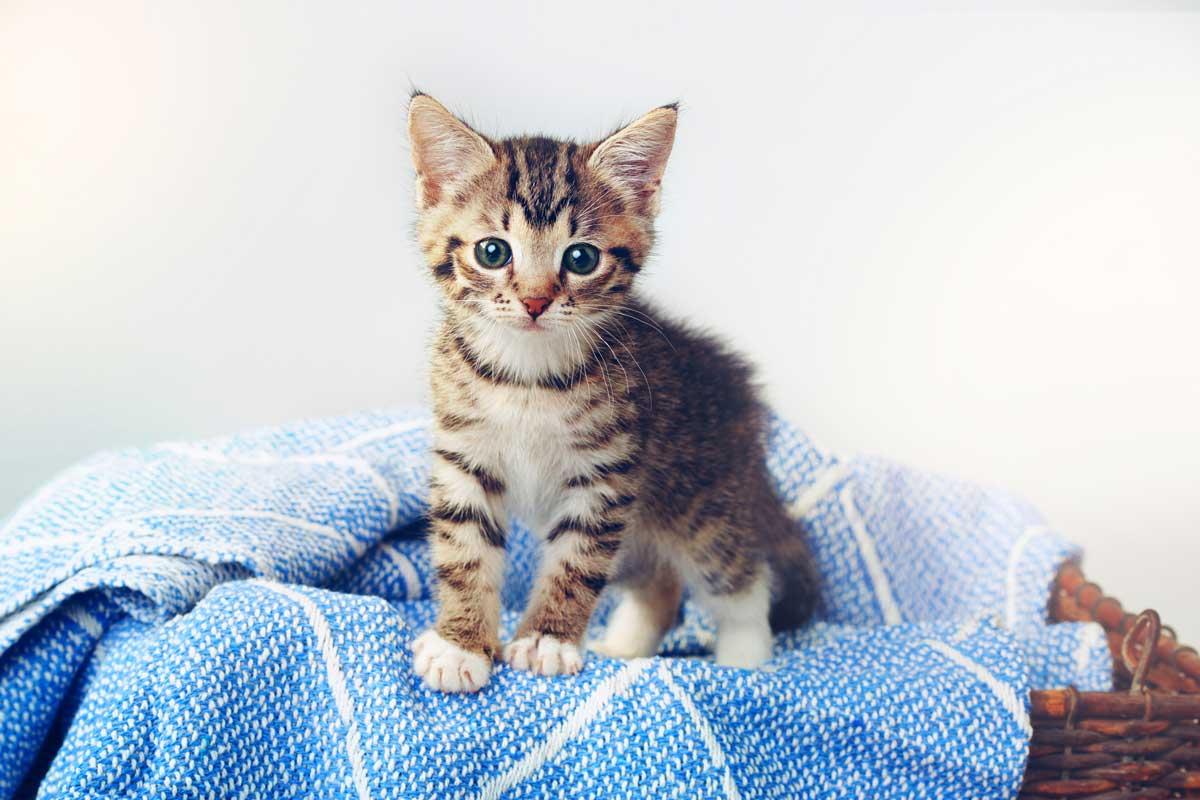 Cute kitten standing on a cozy blue blanket